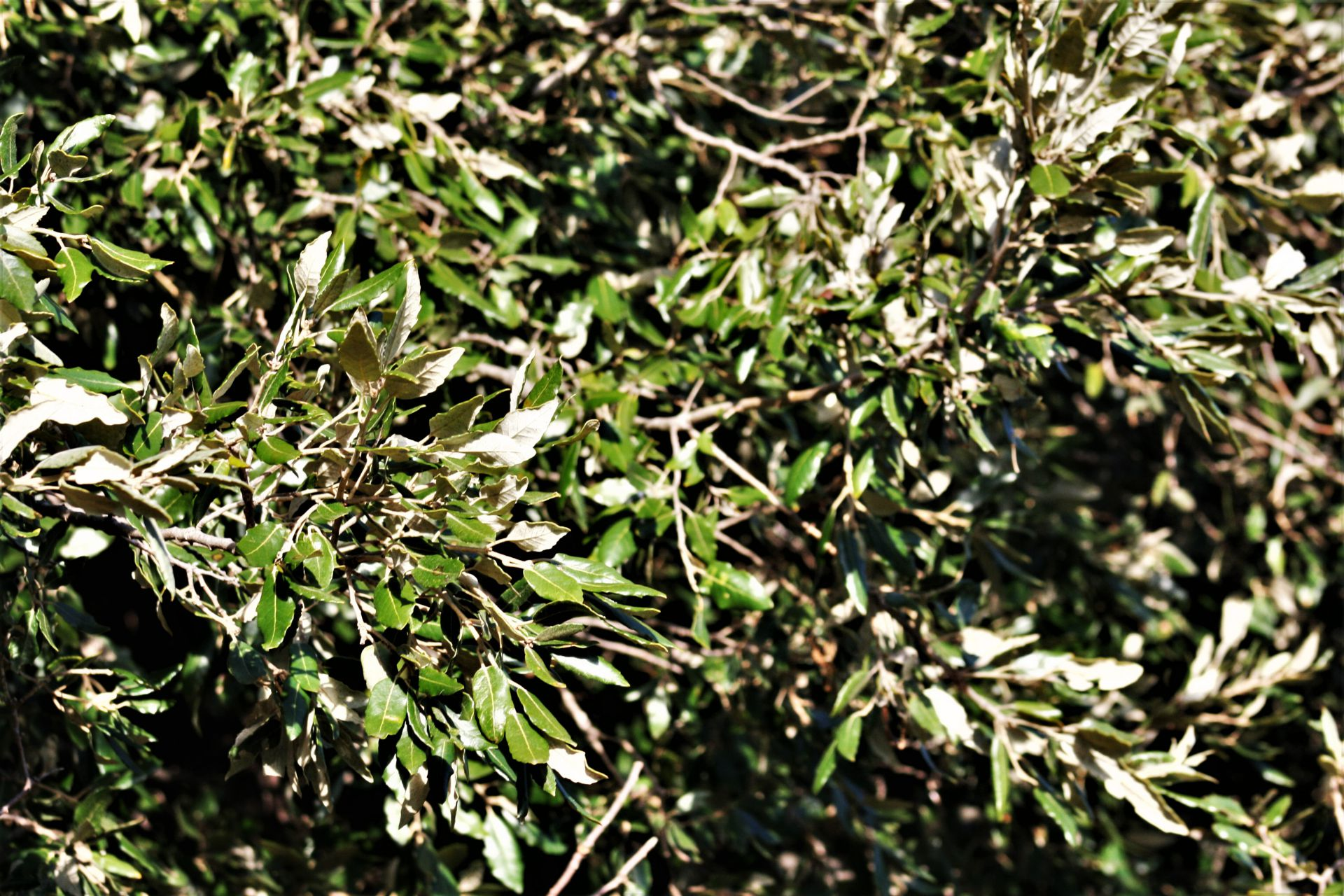 holm oak wood evergreen tree