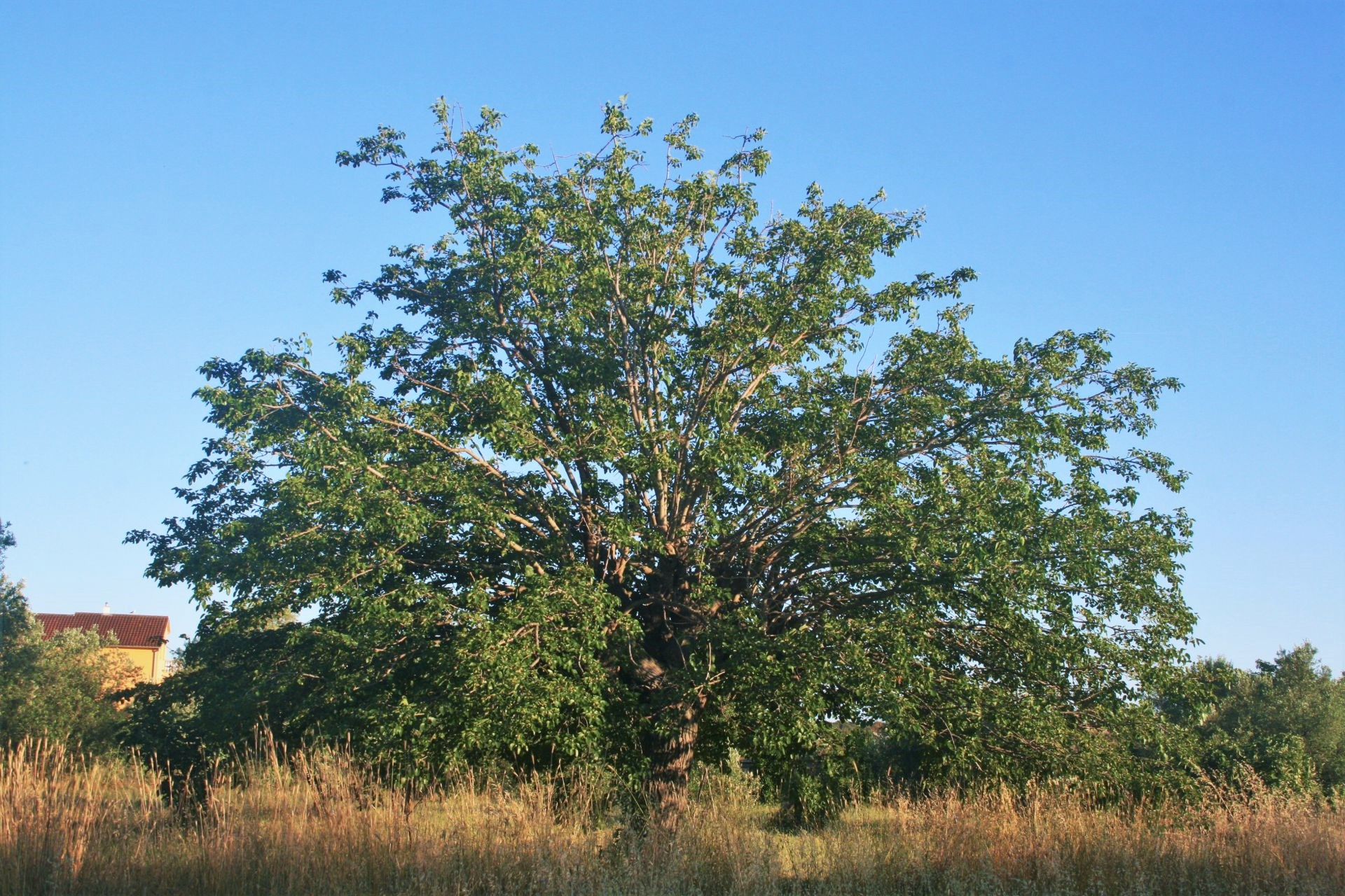 Mulberry Wood A Large Tree Special For Its Unusual Color